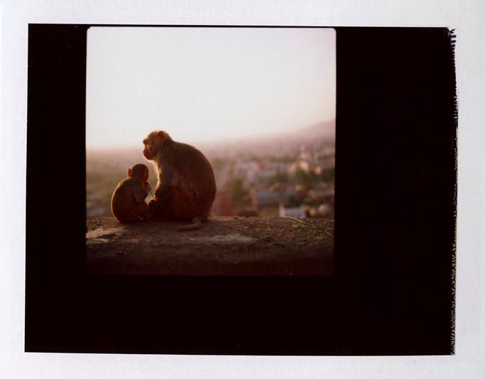 jaipur_monkeys.p96c4OY4yHJN.jpg